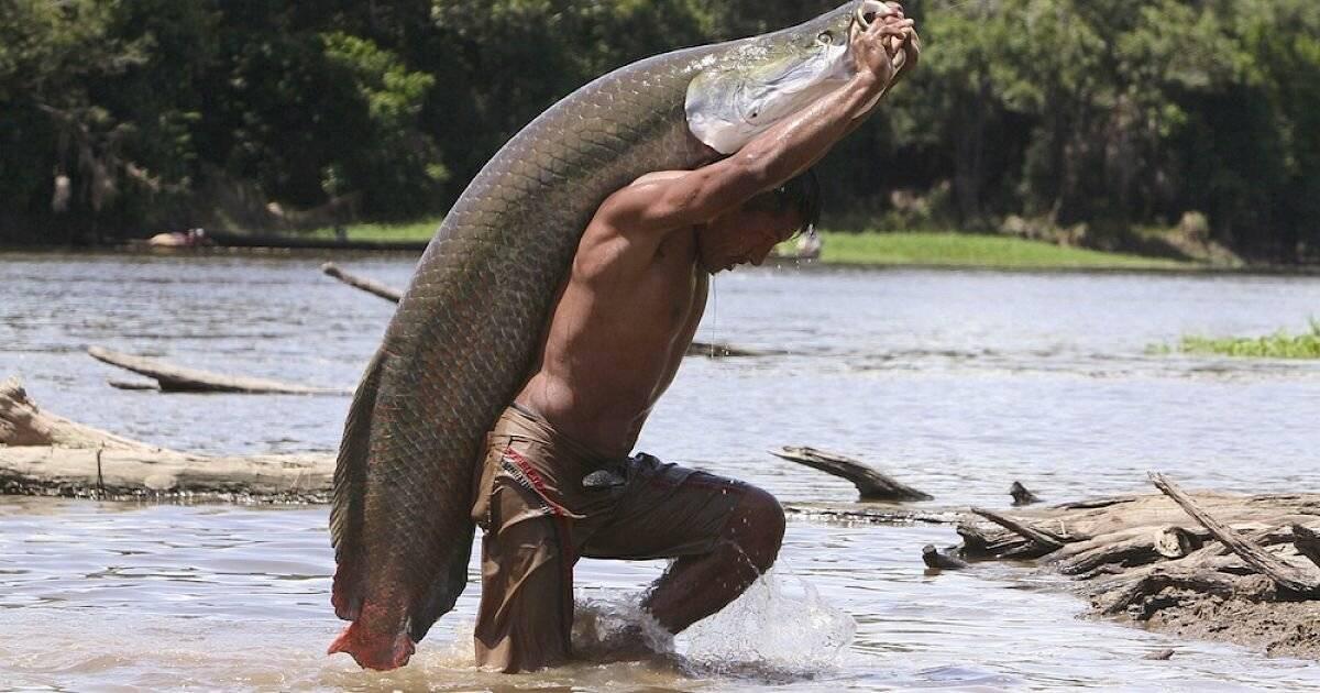 Арапайма (рыба): описание, среда обитания и фото