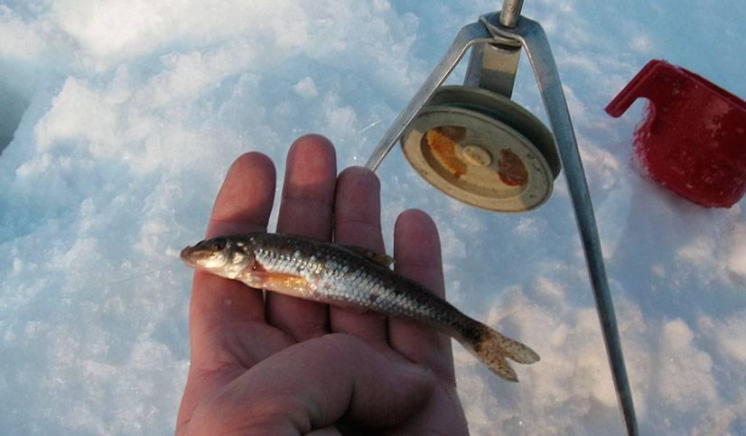 Как насаживать живца - спортивное рыболовство