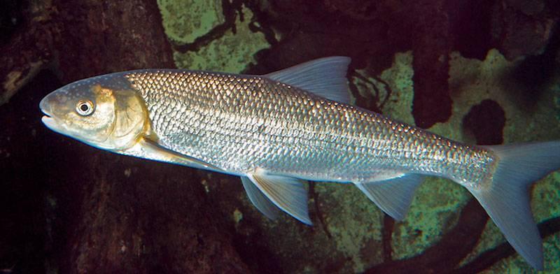 Характеристика рыбы вырезуб: описание, чем отличается от остальных представителей семейства, процесс ловли | berlogakarelia.ru