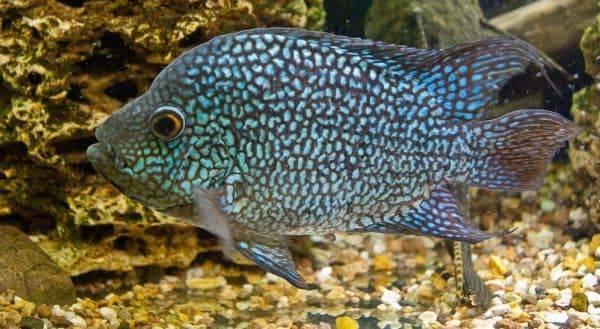 С кем уживаются цихлиды в аквариуме?