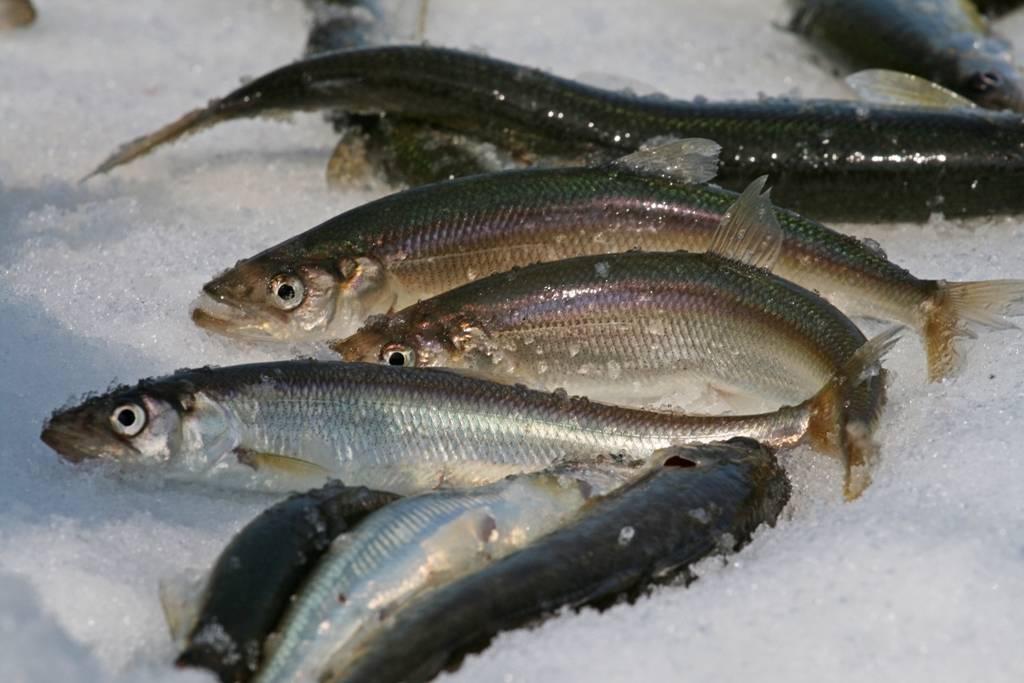 Рыбалка на сахалине: какая рыба, как ловят, рыбные места, снасти