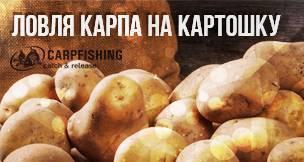 Приготовление и ловля карпа на картошку