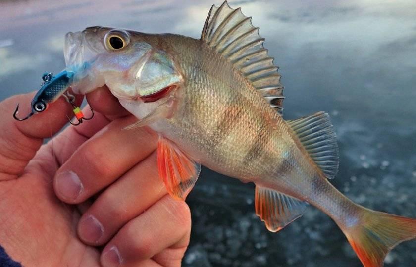 Ловля на балансир зимой: описание блесны и особенности зимней рыбалки на окуня