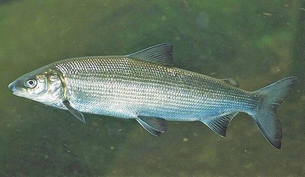 Рыба муксун: польза и свойства. как приготовить муксун и рецепты