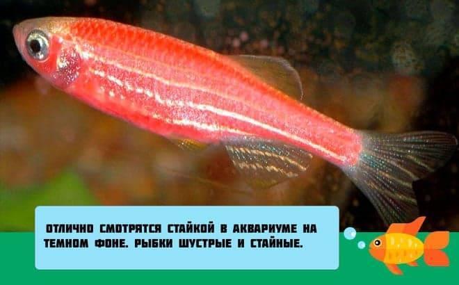 Данио рерио: фото рыбки, содержание, разведение, совместимость, видео