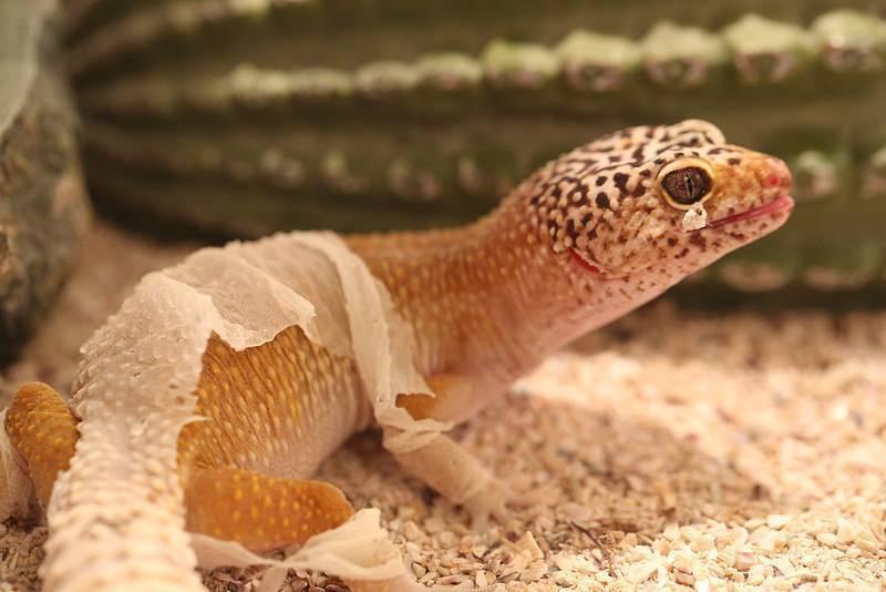 Eublepharis macularius — леопардовый геккон или пятнистый эублефар