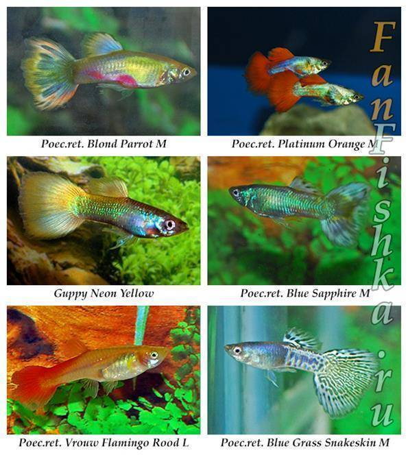 Гуппи (аквариумная рыка): описание, фото, содержание, кормление, разведение