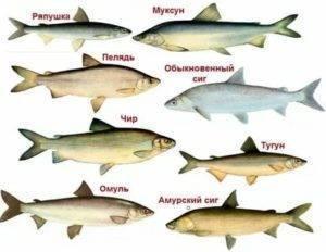 Ловля сига — особенности рыбалки