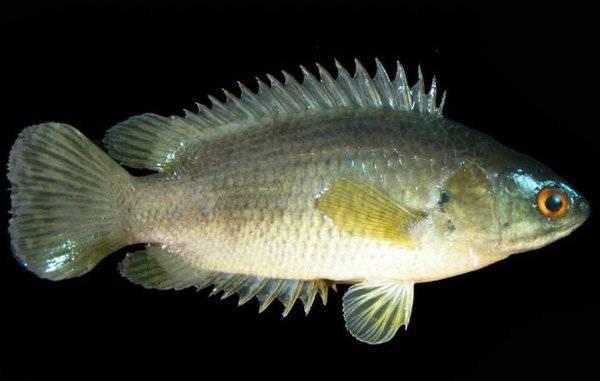 Лабиринтовые аквариумные рыбки: перечень, виды и фото подходящих для аквариума обитателей