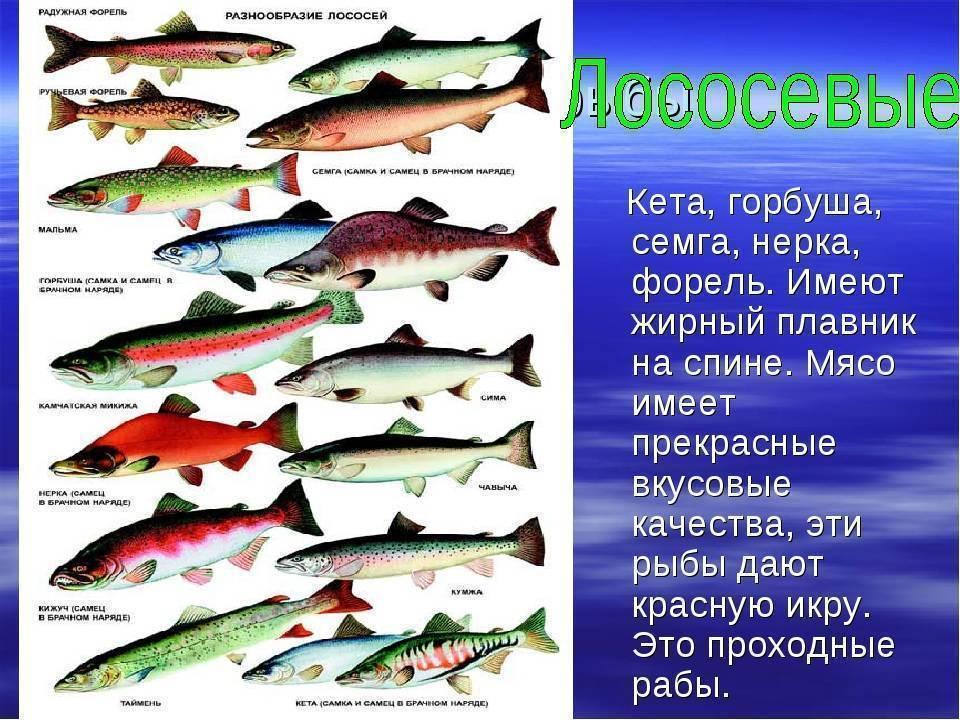 Чем отличаются семга и лосось: есть ли разница, чем питаются, какая рыба лучше