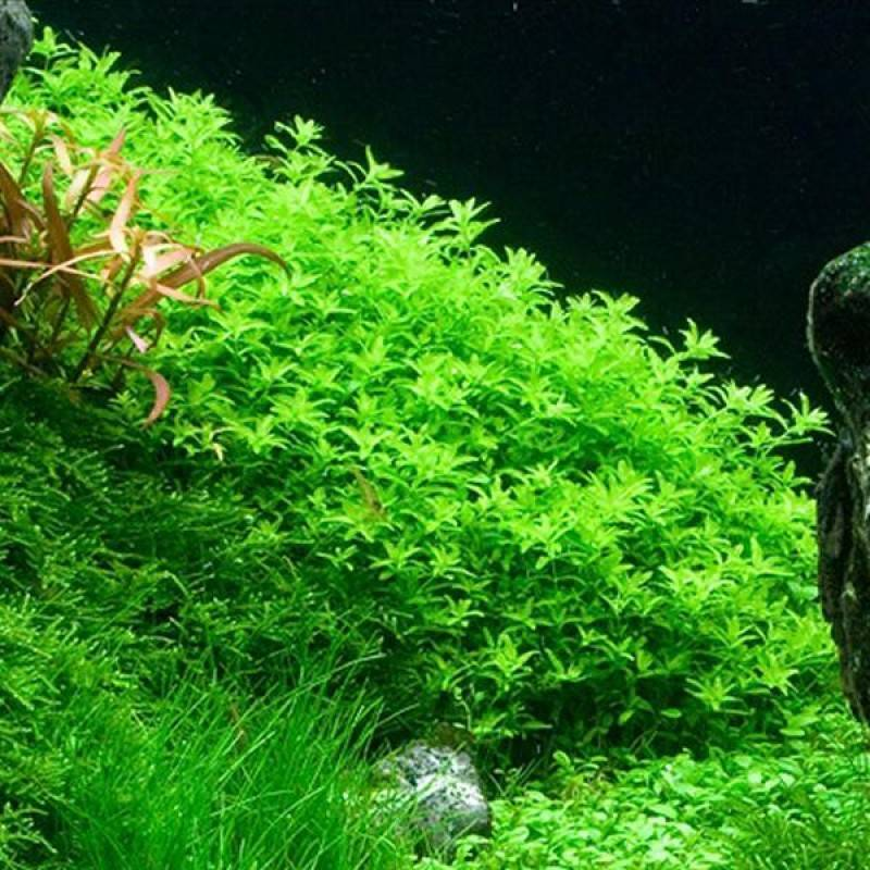 Хемиантус куба - посадка и содержание в аквариуме