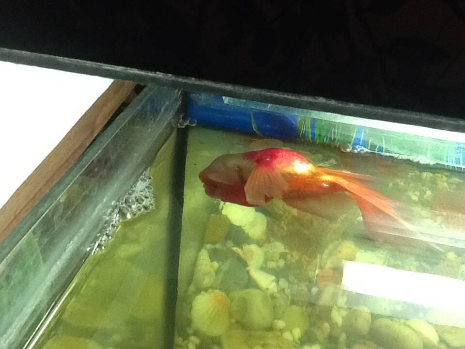 Почему гибнут аквариумные рыбки. почему рыбки в аквариуме внезапно начинают умирать? неправильный запуск рыб - человек и здоровье