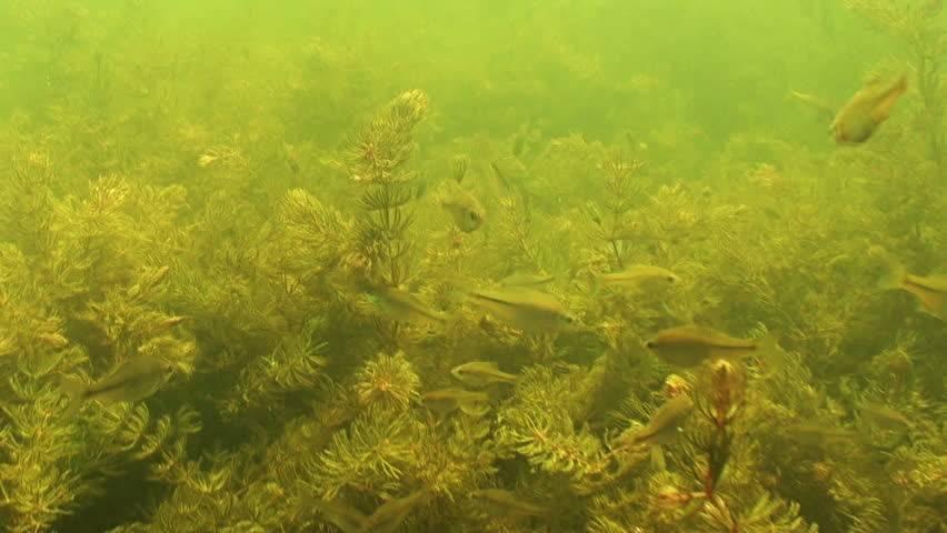 Пресноводная рыба горчак обыкновенный: описание вида
