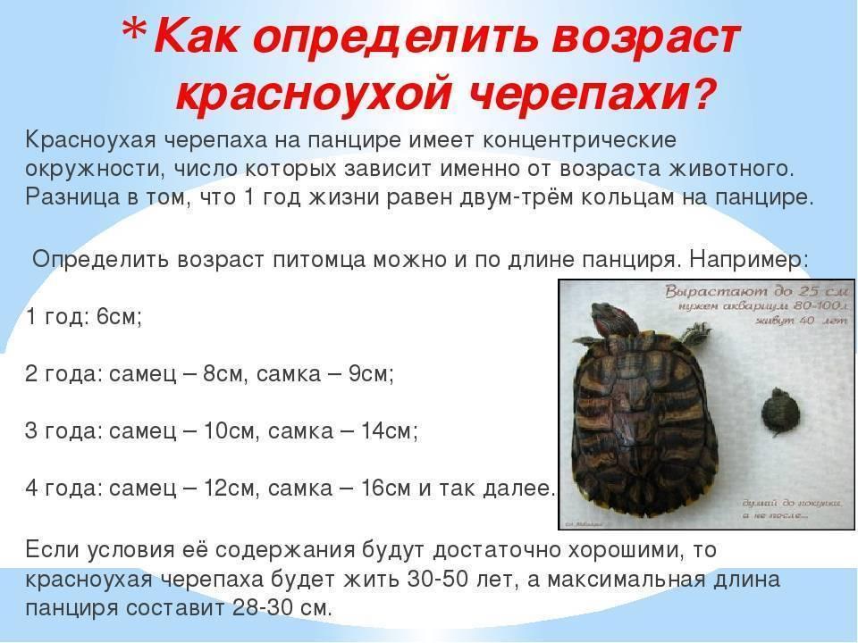 Как посчитать возраст сухопутной черепахи. Как определить возраст красноухой черепахи по строению, размерам и количеству колец