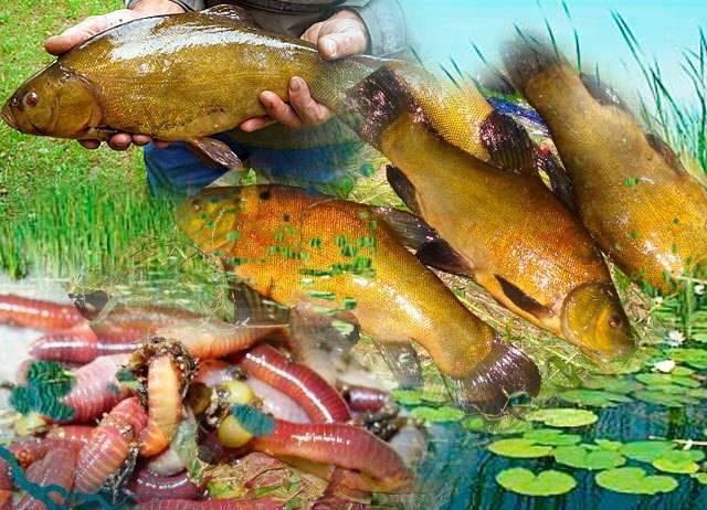 Ловля линя на поплавочную удочку - рыбалка летом, весной, осенью (видео)