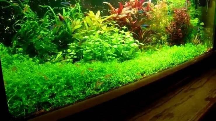 Хемиантус куба: особенности содержания почвопокровного аквариумного растения