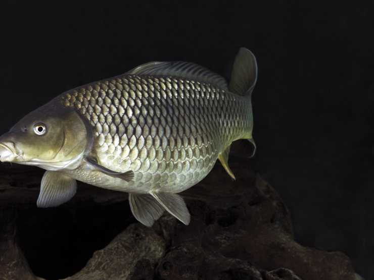 Польза дорадо: 130 фото вариантов приготовления рыбы с сохранением полезных свойств