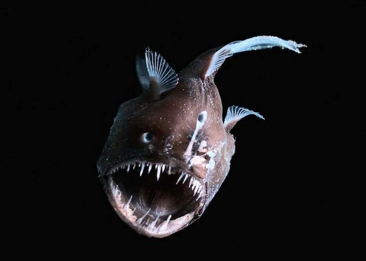 Описание глубоководной рыбы с фонариком на голове. Рыба-фонарь или морской черт: описание и характеристика