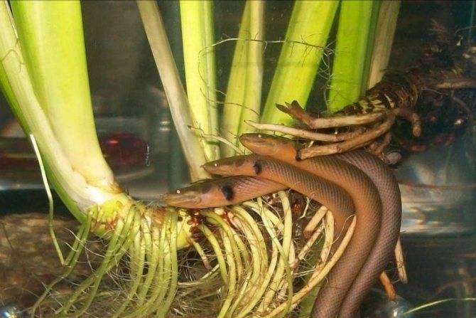 Каламоихт калабарский (рыба змея)