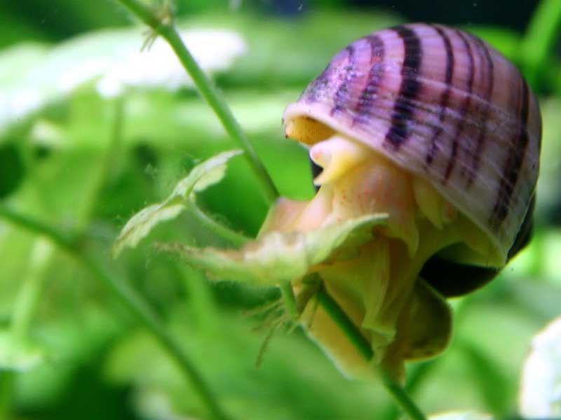 Улитка ампулярия размножение, икра улиток ампулярий, маленькие улитки ампулярии | блог аквариумиста