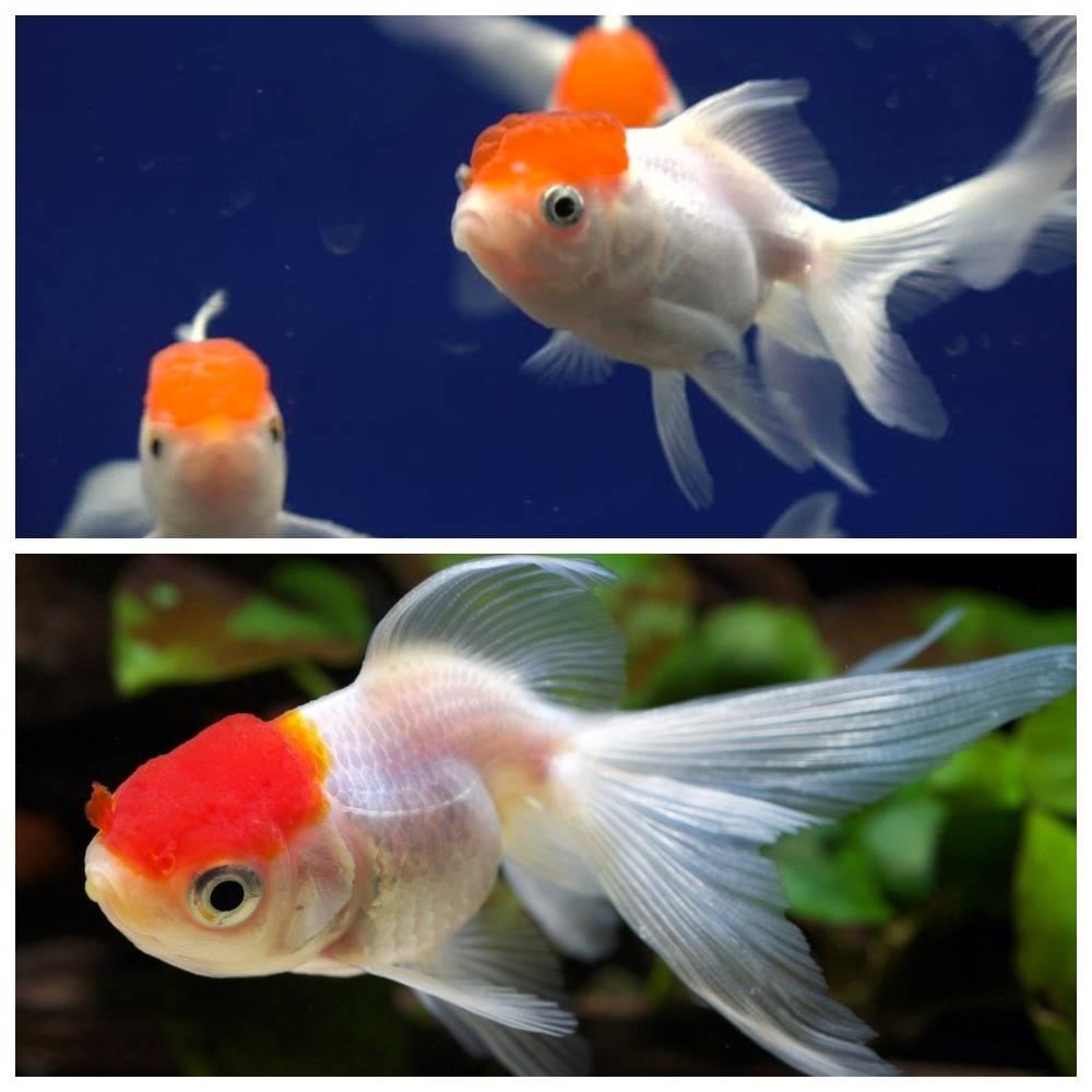 Оранда - золотая рыбка - фото, описание видов, содержание в аквариуме, кормление и совместимость с рыбками