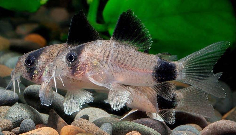 Крапчатый сомик коридорас. содержание и разведение в общем аквариуме.