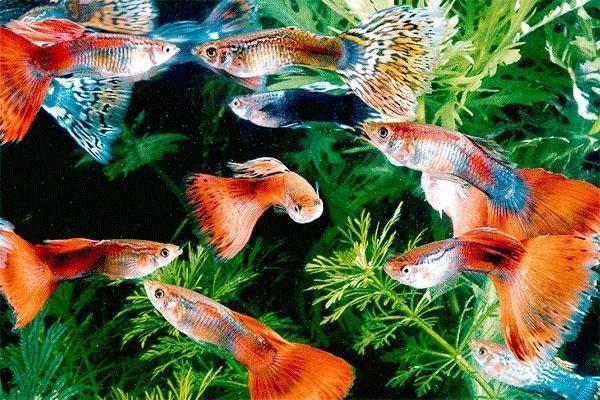 Аквариумные рыбки гуппи – содержание и кормление, отличие самки от самца и их размножение