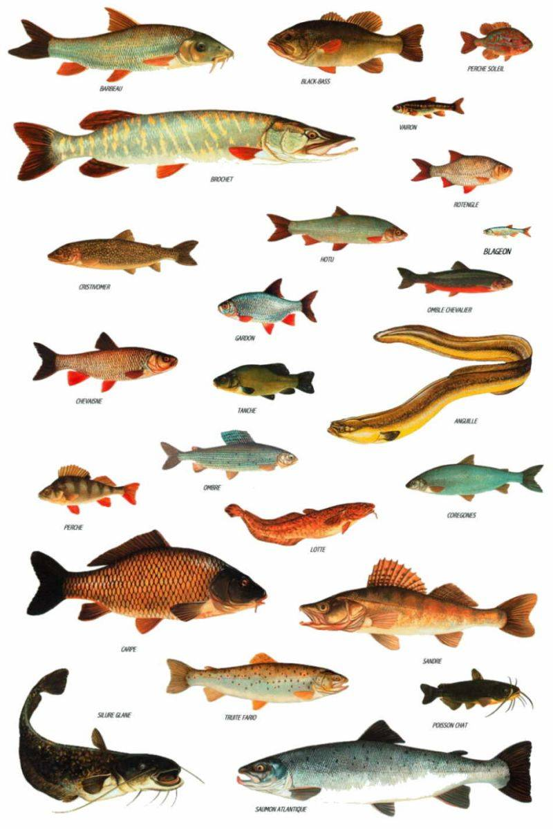 Почему речные рыбы костлявее морских? - «как и почему»