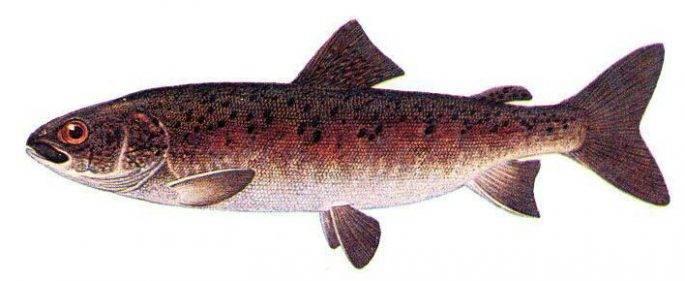 Рыбы Сибири и Дальнего Востока России — виды и рыбалка