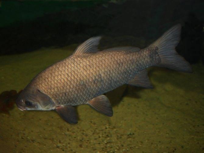 Рыба буффало напоминает буйвола