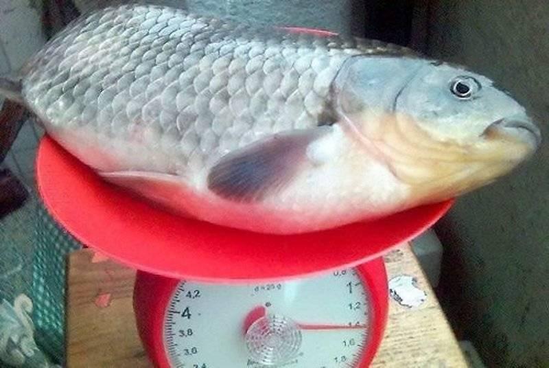 Самый большой карась: размер и вес, размножение, описание вида с фото