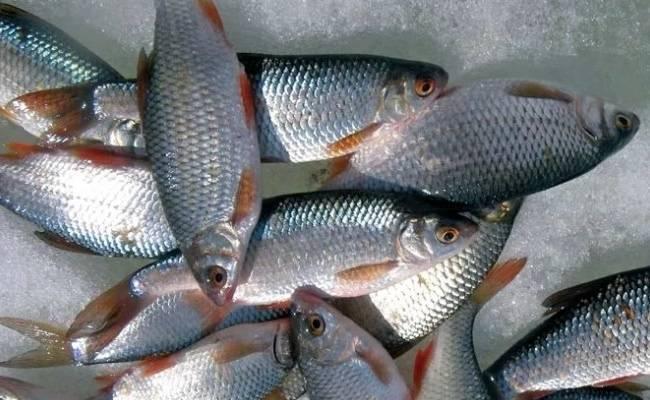 Особенности рыбы сороги обыкновенной