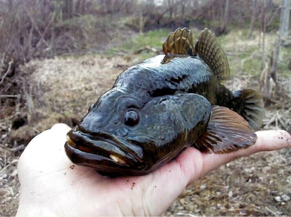 Рыба ротан?: фото и описание. как выглядит ротан?, чем питается и где водится