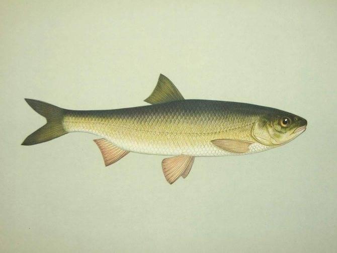 Вобла рыба. образ жизни и среда обитания рыбы воблы | животный мир