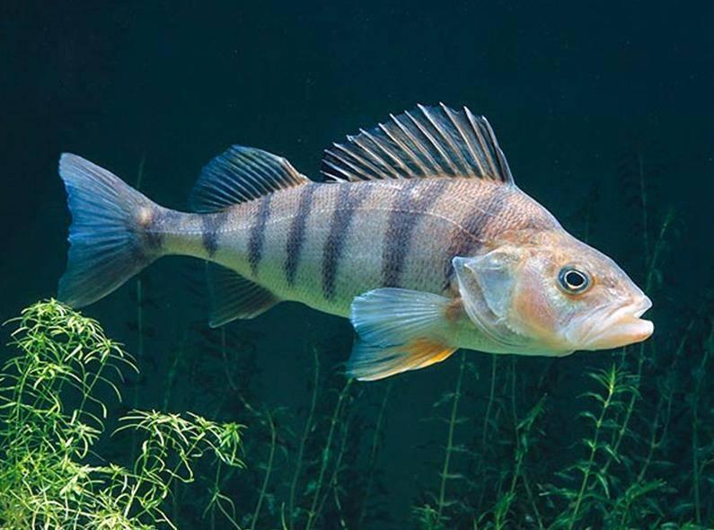 Окунь речной: фото рыбы, интересные факты