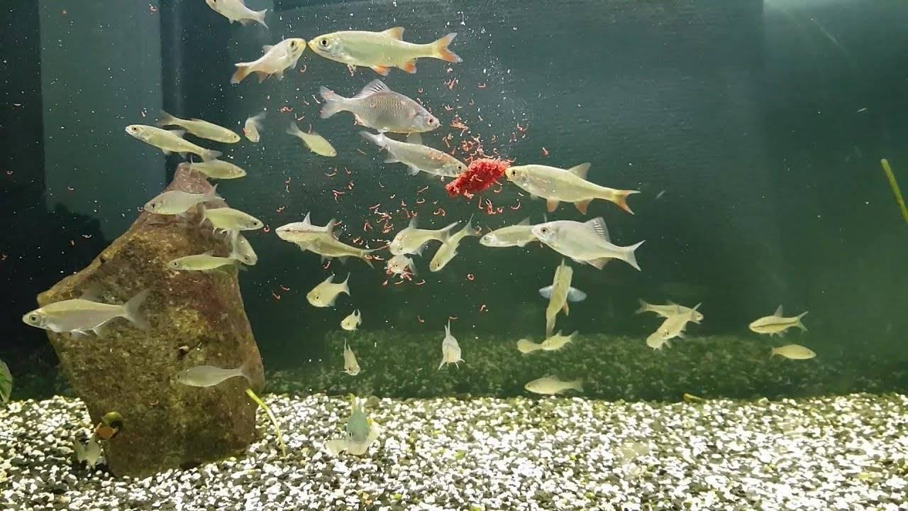 Чем кормить мальков. как кормить мальков, чем правильно и какие порции для кормления мальков. в данном материале речь пойдет о кормлении аквариумных рыбок, а именно мальков.