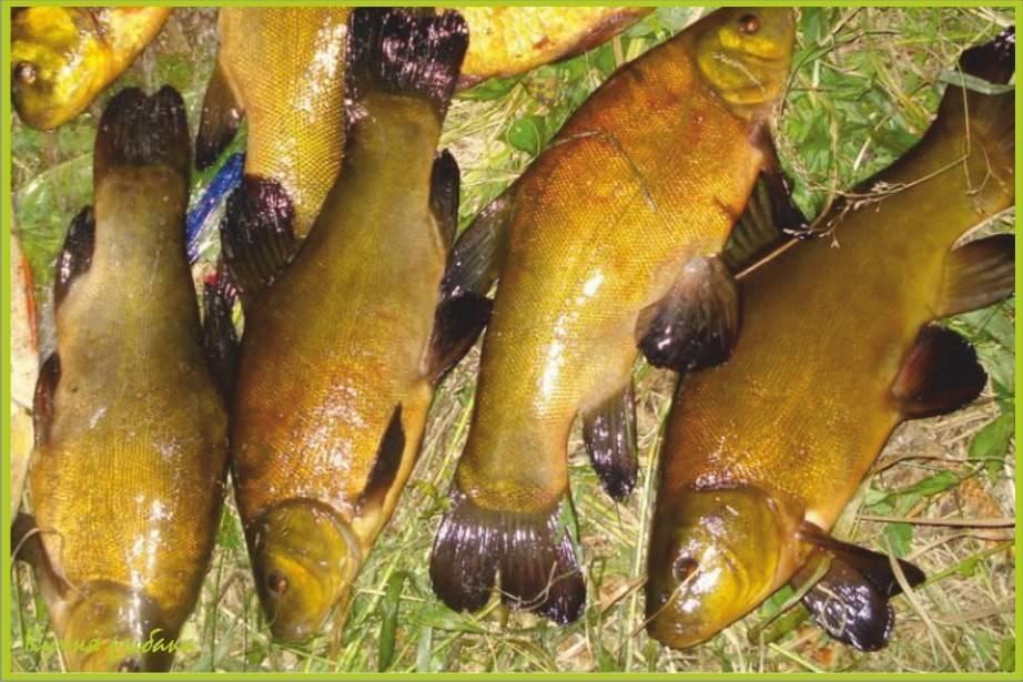 Рыба линь – фото и описание рыбы, секреты ловли | клёвая рыбалка