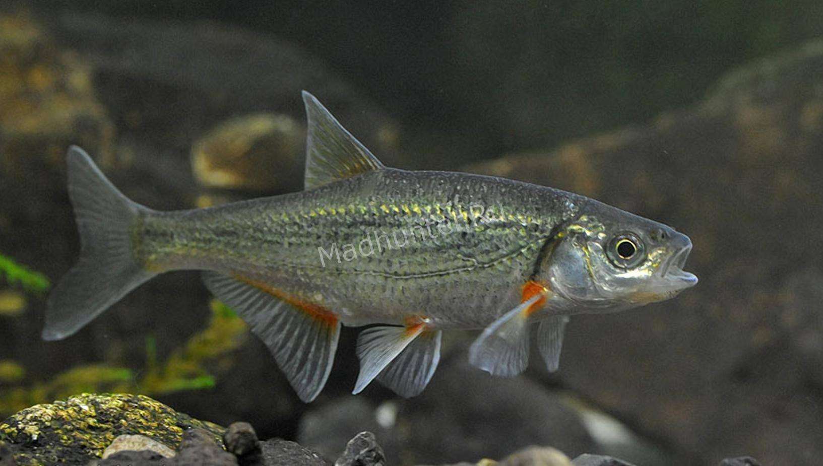 Гольян: где обитает и чем питается, распространённые методы ловли речной рыбки