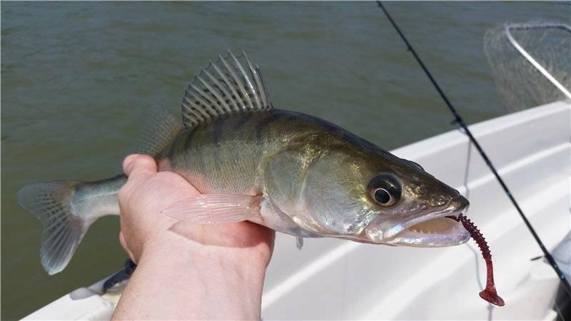 Рыба берш и её главные отличия от судака