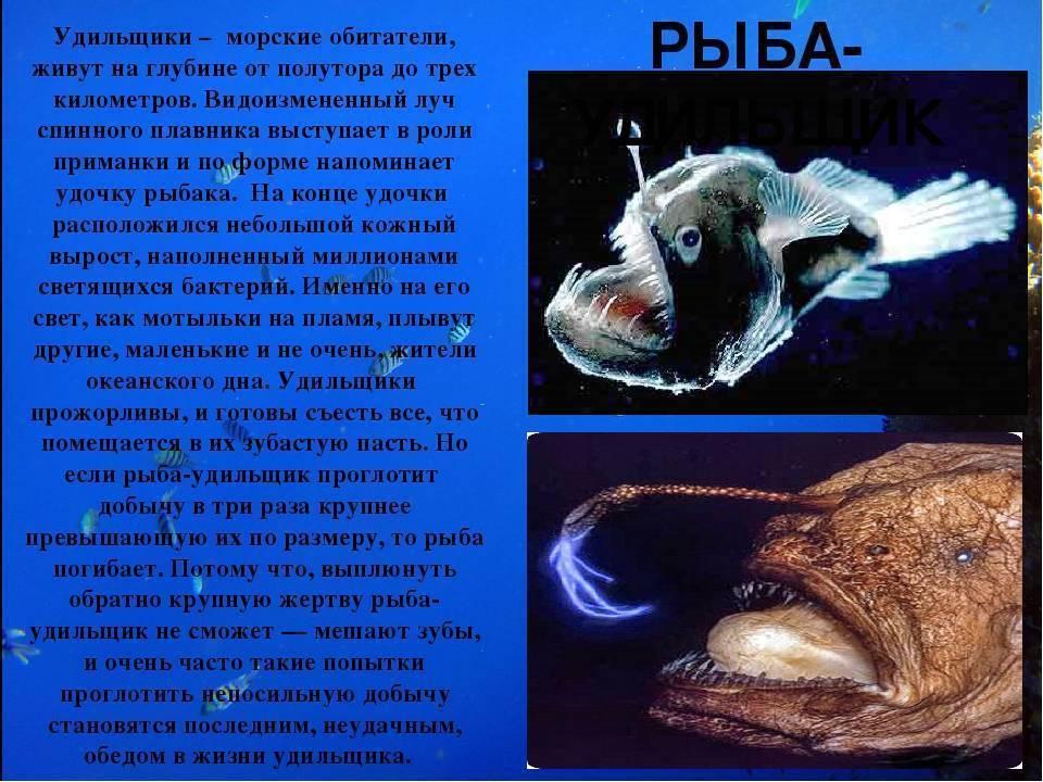 Морской черт: особенности внешности, условия жизни, питание (56 фото + видео)