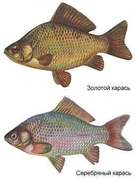 Рыба буффало: где в астрахани водится и на что ловить рыбу буффало