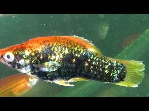 Колумнариоз - заболевания рыбок: причины, лечение, симптомы