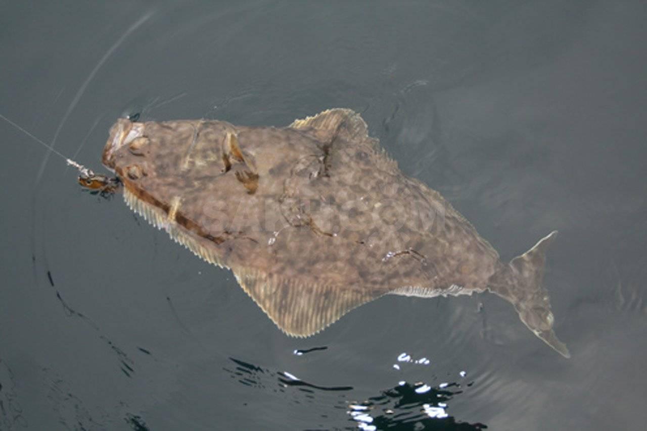 Рыба похожая на камбалу название фото