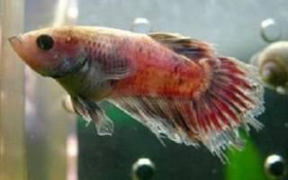 Колумнариоз у рыб – лечение в общем аквариуме и причины появления