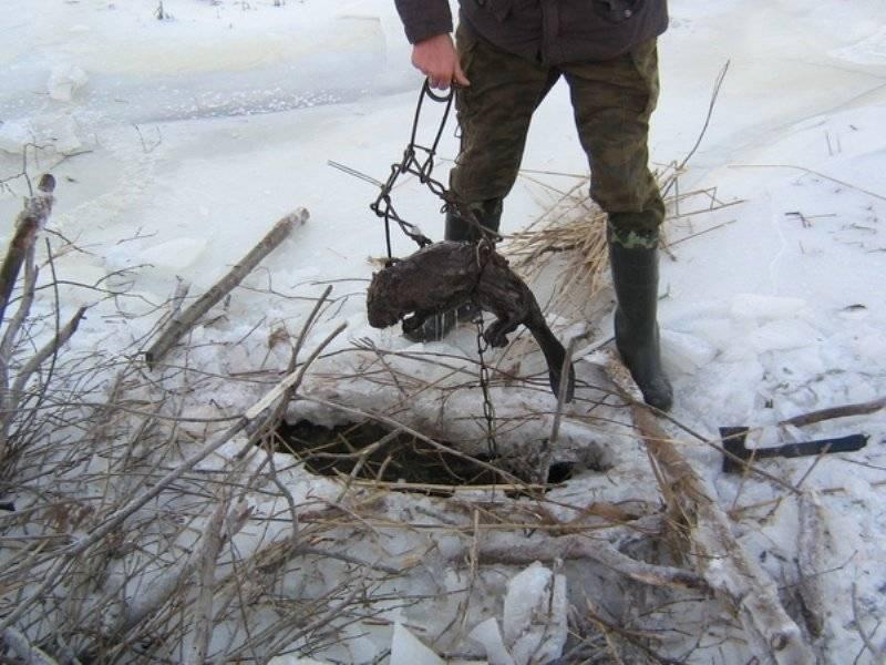 Охота на бобров (видео): с ружьем и капканами весной, зимой, осенью