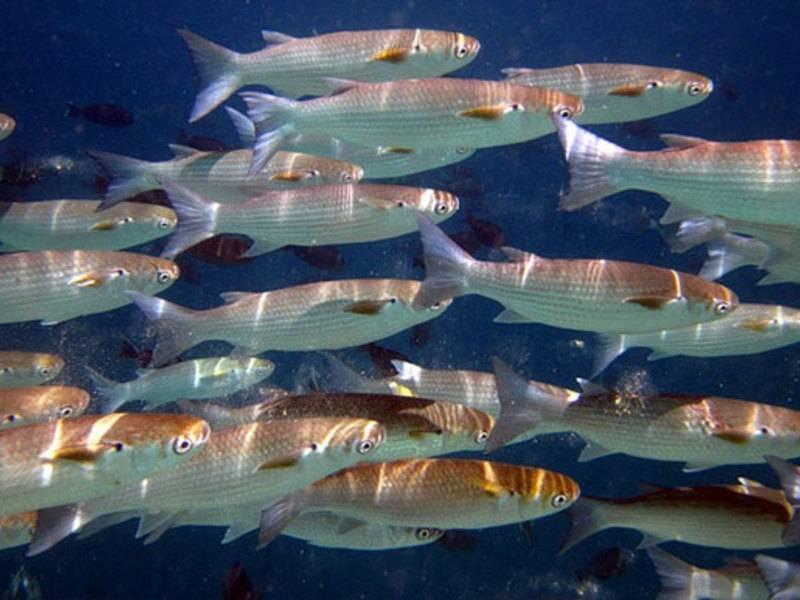 Кефаль: как приготовить рыбу