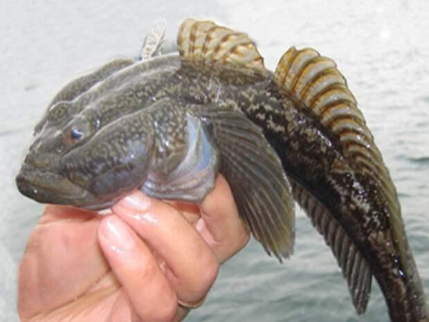 Рыба пикша: особенности жизненного цикла