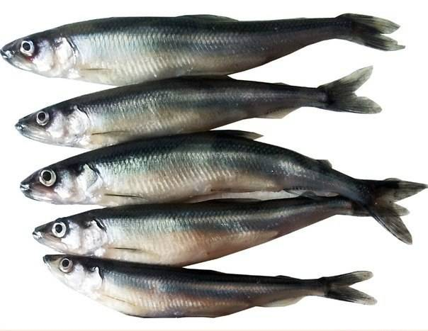 Рыба корюшка?: фото и описание. как выглядит корюшка?, чем питается и где водится