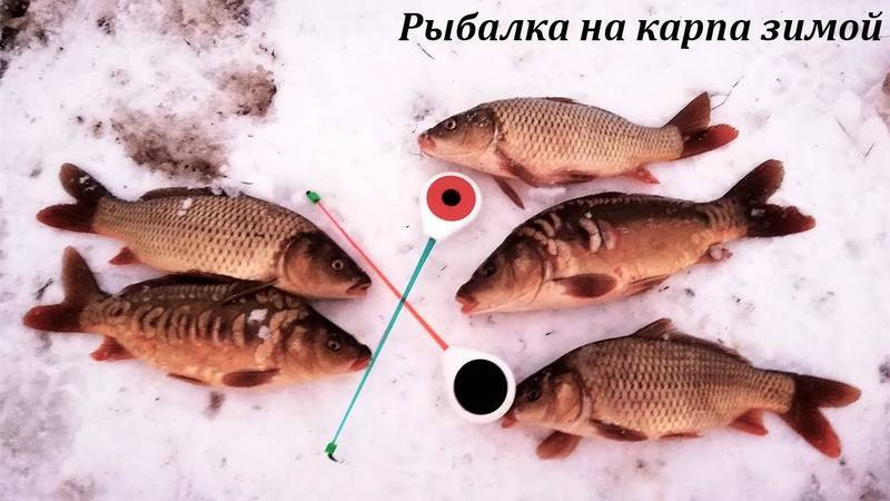 Ловля карпа зимой: зимние места обитания, лучшее время для рыбалки, на что клюёт и чем ловится