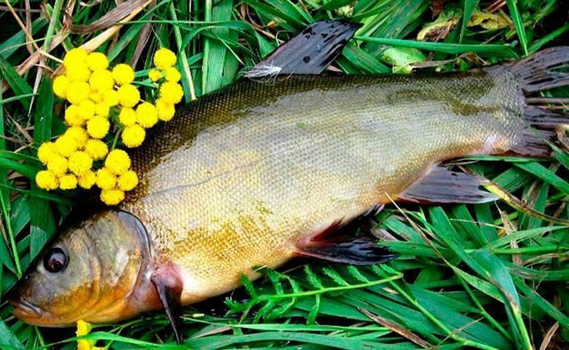 Где, в каких водоемах ловить линя? - vobler club - клуб любителей рыбалки
